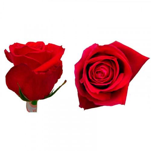24 Rosas - Vital