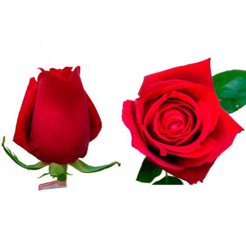 24 Rosas - Classy